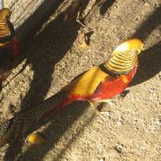 par de machos de faisanes dorados