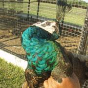 pavito verde esmeralda de 5 meses