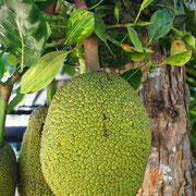 Wer kennt diese Frucht? Der Baum steht direkt neben uns.