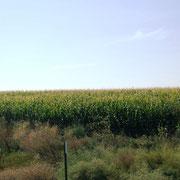Maisfelder ohne Ende