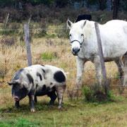 Pferdchen und Schwein verstehen sich gut