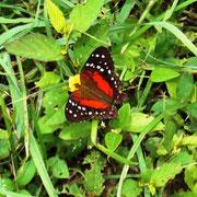 wunderhübsche Schmetterlinge auf der Wiese