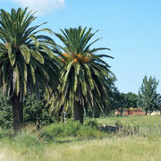 wir haben die Palmen wiedergefunden