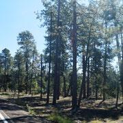 50 km weiter dann auf 2.060 m Höhe ein Nadelwald