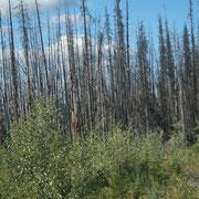 tote Wälder