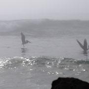 Pelikane flattern an der Küste