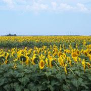 endlose Felder mit Sonnenblumen
