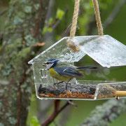 Лазоревка на кормушке для птиц.