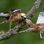 Дубонос на кормушке для птиц.
