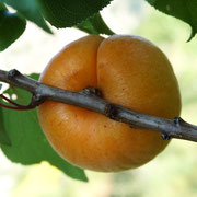 abricot hargrand 2-pepiniere-bendola