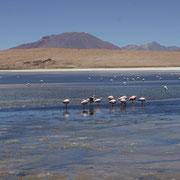 Drei Flamingoarten leben von den Seen im Hochland von Uyuni