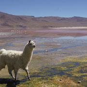 Lama und zahlreiche Flamingos an der Laguna Colorada