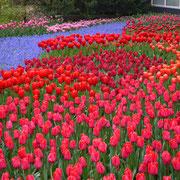Keukenhof in Holland Sehenswürdigkeit  Blumenfestival Keukenhof Holland Frühlingsblüten
