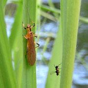 2010年5月28日、アミメカワゲラと羽蟻