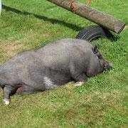 """ein """"Minischwein"""" im Heiligenbrunnen"""