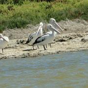 Pelikane auf ihrer Insel