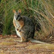 Das Wallaby macht eine etwas unguenstige Figur