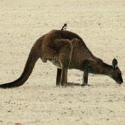 Ein Vogel auf dem Riesenkaenguru