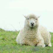 Ob das Schaf wohl fröhlicher schaut wenn die Sonne scheint