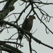 Ein Schlangenadler (Crested Serpent Eagle)