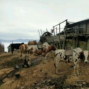 Die Ochsen werden hergerichtet