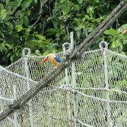 """Ein """"Stork billed kingfisher"""" (gibt es nicht auf deutsch)"""