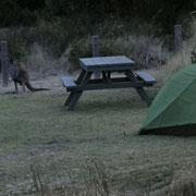 ...und das Kaenguru wartet vor dem Zelt