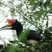 Ein Nashornvogel (Rhinoceros Hornbill)