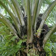 Hinter den Palmwedeln wachsen die Fruechte heran