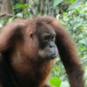 Orang Utan ( woertlich:  Mensch Wald)