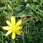 la première fleur du printemps, une ficaire