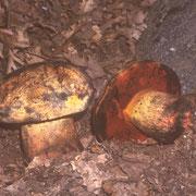 Boletus luteocupreus