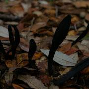 Geoglossum cookeianum