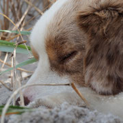 Mini-Aussie Zuchtrüde Olli am Schlafen - von was er wohl träumt?
