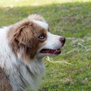 Mini-Aussie Zuchtrüde Olli's wunderschöne blaue Augen