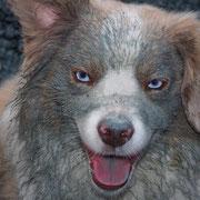 Ganz schön dreckig - Mini-Aussie Zuchtrüde Olli