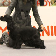 Knock Out Girl Spaniels By SI