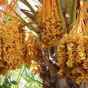 Datteln wachsen wirklich auf Palmen