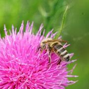 Foto: Gerd Baumann - Biene auf Diestelblüte
