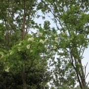 ハリエンジュの林、もうすぐ伐採が始まります・・・