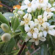トベラ満開 花の香りに誘われて!