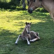 Poulain de notre élevage chevaux Henson