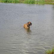 Bullmastiff Igor