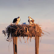 Seeadler an der Laguna Ojo de Liebre