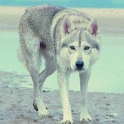 inuit du nord, tel le loup