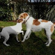 Dansk-Svensk-Gardhund und Kromfohrländer
