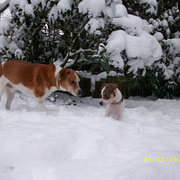 Dansk-Svensk-Gardhund-Welpe
