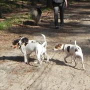v. links Kromfohrländer/Dansk Svensk Gardhund Mixe Molly und Snutje und Echart(Dansk/Svensk Gardhund