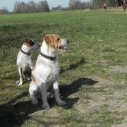 Eckart mit seiner Freundin Nuby-Dansk-Svensk-Gardhund und Kromfohrländer