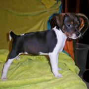 Bijou 7 Wochen alt und 2068g schwer-Dansk-Svensk-Gardhund-Welpe